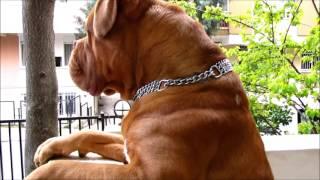 getlinkyoutube.com-Dogue de Bordeaux  **Babu** Handsome boy's daily life