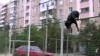 getlinkyoutube.com-Rottweiler jumps a very high fence !