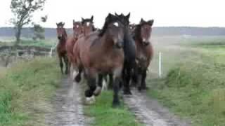 getlinkyoutube.com-konie zimnokrwiste i belgijskie