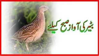 Batair Ki Awaz | Male Common Quail call | Batair ki Awaz | Quail Sounds