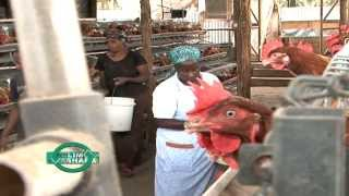 getlinkyoutube.com-Layers Poultry in Cages courtesy of Sigma Feeds Kenya