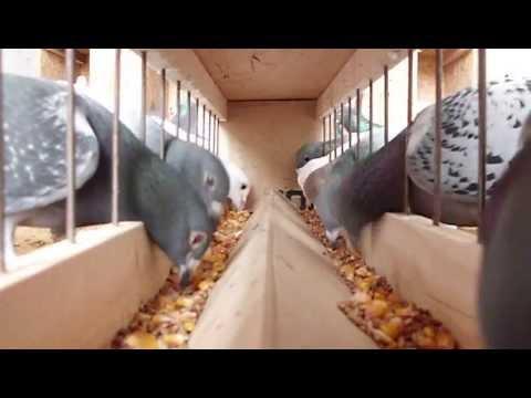Postagalambok etetése (Racing pigeons eating)