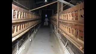 getlinkyoutube.com-Утримання батьківського стада та вирощування ремонтного молодняку несучих порід курей