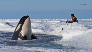 getlinkyoutube.com-Dramatic raw footage of NOAA researchers tagging orcas with cross bows (killer whales) in Antarctica