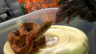 getlinkyoutube.com-snakes & frogs eating like hell
