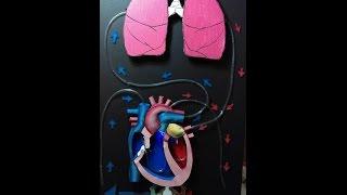 Proyecto sistema circulatorio  Circulatory System Project