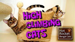 getlinkyoutube.com-Bengal kittens – high climbing cats get up to mischief