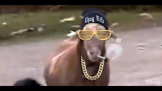 getlinkyoutube.com-Melhores vídeos Thug life do Whatsapp 2015