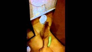 getlinkyoutube.com-[NEW TREND] Cat startled by zucchini!