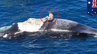Surfing na wielorybie prawie kończy się pożarciem przez rekiny
