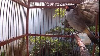 Suara burung kutilang berkicau...