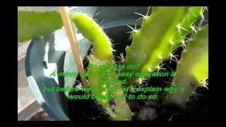 getlinkyoutube.com-Stronger growth for your Dragon Fruit Pitaya seedlings