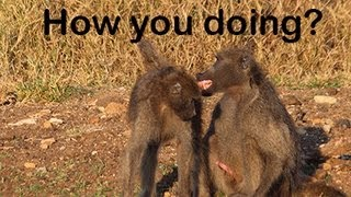 Baboon sex filmed in the Kruger national park of South Africa