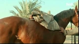 getlinkyoutube.com-خيول الطحاوية العربية الأصيلة