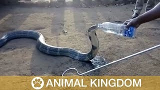Huge Cobra Drinks From Bottle