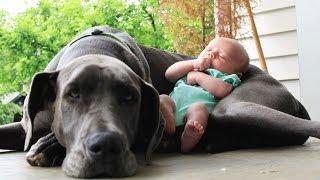 getlinkyoutube.com-Perros Grandes y Bebés excelente combinación.
