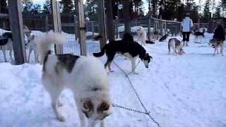 Husky-Tour in Lappland