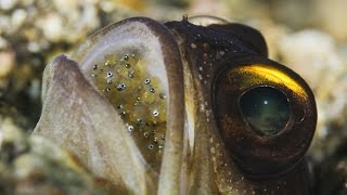getlinkyoutube.com-Mouthbrooding Jawfish