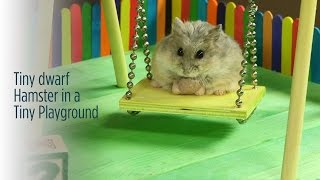 getlinkyoutube.com-Tiny Hamster in a Tiny Playground