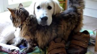 getlinkyoutube.com-Cat loves cutest golden retriever puppy