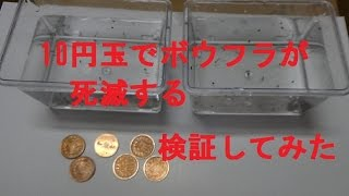 getlinkyoutube.com-10円玉でボウフラが死滅する〈TVで放映〉か11日間検証してみた 結果は・・・最後はエサとなりますWiggler
