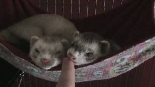 getlinkyoutube.com-Ferrets Are Dangerous