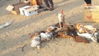 getlinkyoutube.com-سوق الطيور موقع الجديدفي نخلان بدل سوق صبياء