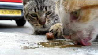 flushyoutube.com-Rescuing cats in Israel - please share and help us save more lives.  Thanks!