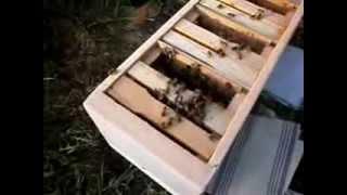 getlinkyoutube.com-Вывод маток и заселение пчёлами мини нуклеусов