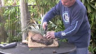getlinkyoutube.com-Remounting Staghorn Ferns