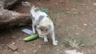 getlinkyoutube.com-Kepo Ga Sih? eps 4 - kenapa kucing takut terhadap timun?
