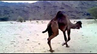 getlinkyoutube.com-بعير ابوسند الموسيقارالحجره