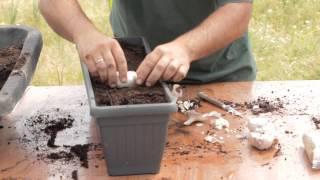 getlinkyoutube.com-Cómo sembrar ajos en macetas//Balcón comestible//LlevamealhuertoTv
