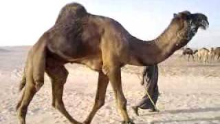 getlinkyoutube.com-الفحل مهيدلان بن عشيو الدواسر
