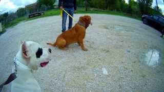 getlinkyoutube.com-DOGUE ARGENTIN VS DOGUE DE BORDEAUX / SOCIABILISER 2 MOLOSSES