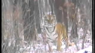 getlinkyoutube.com-Тигр поймал собаку