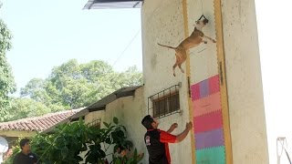 getlinkyoutube.com-Jumping Dogs: Champion Pit Bull Can Leap Up Four Metre Walls