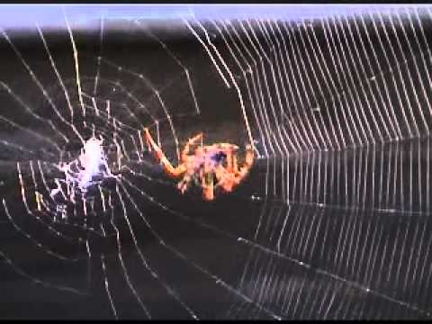 Close-up of Spider spinning it's web detail seen Clearly.wmv