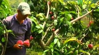getlinkyoutube.com-Cómo cultivar Mango - Por TvAgro, Juan gonzalo Angel TvAgro