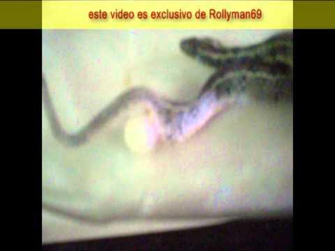INCREIBLE Serpiente poniendo huevos