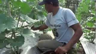 getlinkyoutube.com-Merawat Tanaman Melon