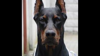 كل حاجة عايز تعرفها عن كلب  الدوبرمان الشرح بالعربي  DOBERMAN PINSCHER!!