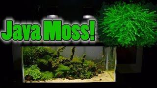 getlinkyoutube.com-How To Grow Aquarium Moss & Liverwort: Java Moss part 3