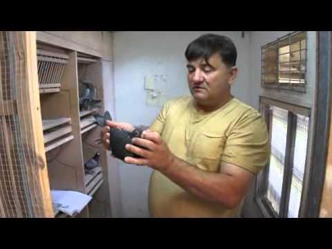 Artur Pawelec - gołębie na sprzedaż - prezentacja - 11.07.2013r.