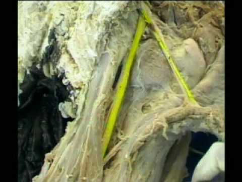 Anatomy of sciatic nerve