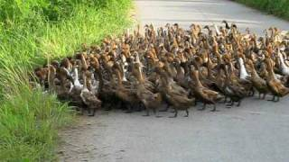 getlinkyoutube.com-2000 Ducks