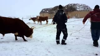 getlinkyoutube.com-Калмыкскый бык