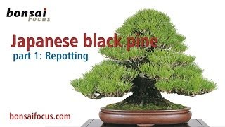 All about the Japanese black pine PART 1 REPOTTING