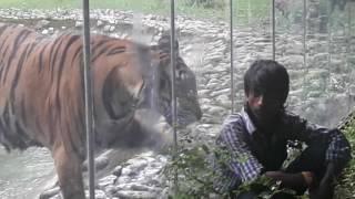 getlinkyoutube.com-Tiger attacked the man in Alipore Zoo, Kolkata