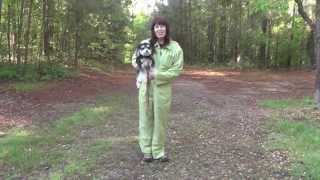 getlinkyoutube.com-Dog Training, Bentley, Morkie, Day 1: Follow, Come, Place, Free